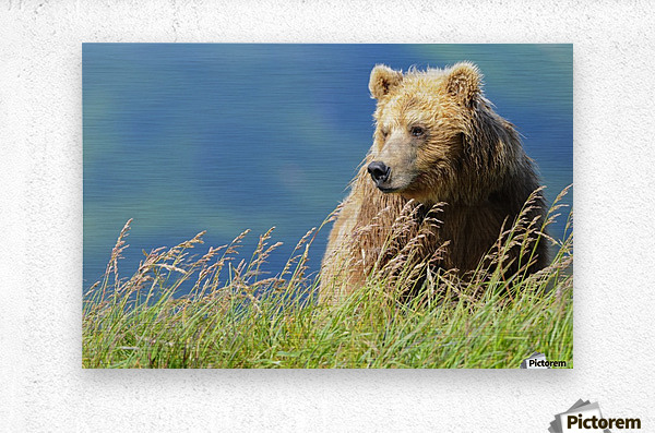 Portrait of a brown bear (portrait), Katmai National Park; Alaska, United States of America  Metal print