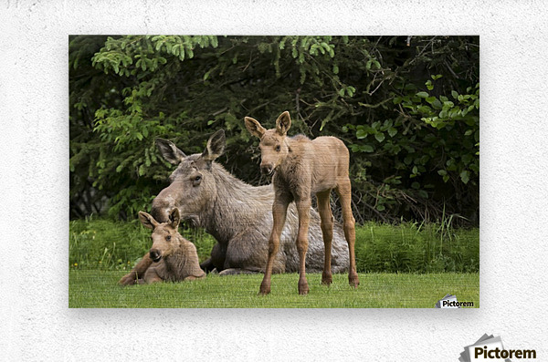 A cow moose (alces alces) relaxes on a lawn with her twin calves; Anchorage, Alaska, United States of America  Metal print
