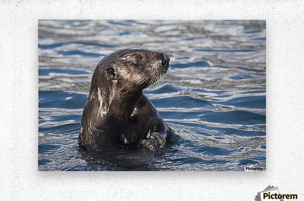 Sea Otter (Enhydra lutris) swims in Resurrection Bay near Seward small boat harbour in south-central Alaska; Seward, Alaska, United States of America  Metal print