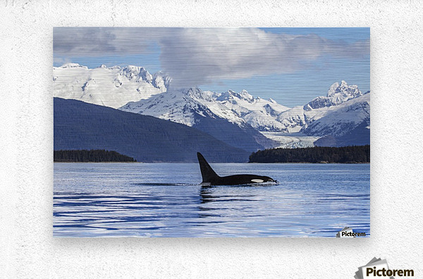 An Orca Whale (Killer Whale) (Orcinus orca) surfaces in Lynn Canal, Herbert Glacier, Inside Passage; Alaska, United States of America  Impression metal