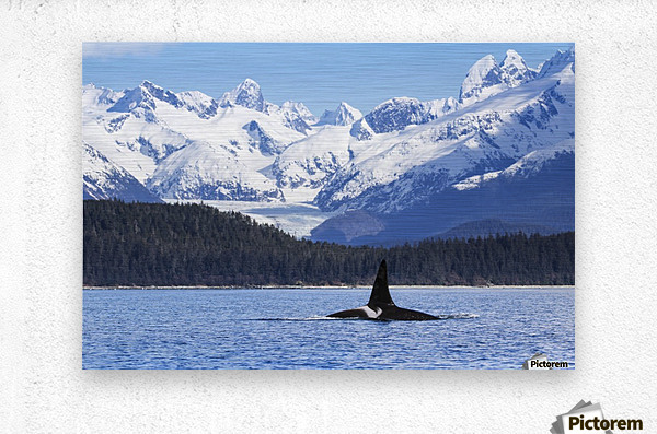 An Orca Whale (Killer Whale) (Orcinus orca), male as indicated by the height of it's dorsal fin, surfaces in Lynn Canal, Herbert Glacier, Inside Passage; Alaska, United States of America  Metal print