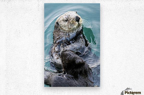 Sea Otter (Enhydra lutris) eating in Seward boat harbour on the Kenai Peninsula in South-central Alaska; Seward, Alaska, United States of America  Metal print
