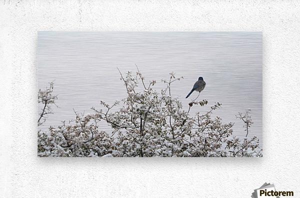 Bluebird in Snow 3VP  Metal print