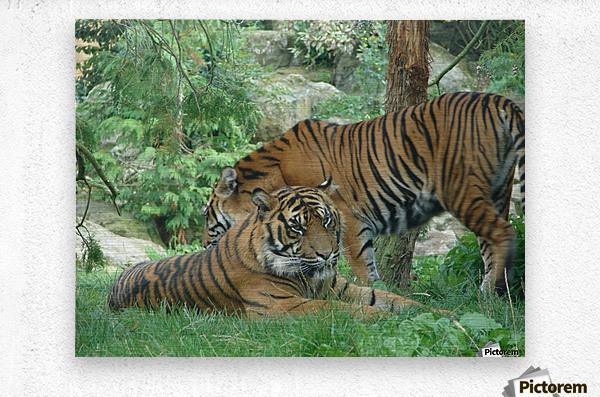 Tigers  Metal print
