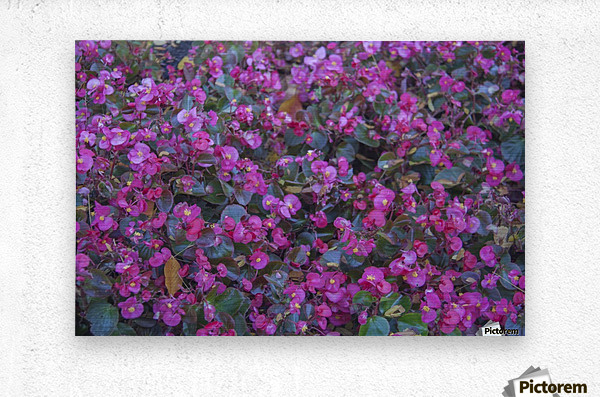 Bubble Gum Begonia  Metal print