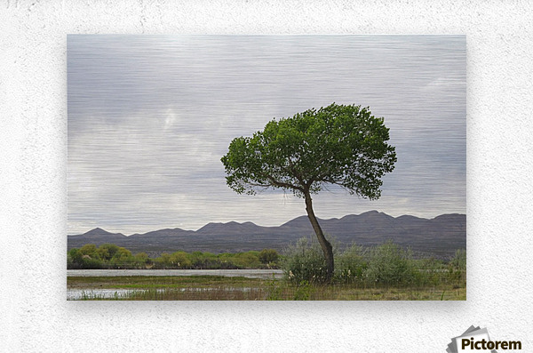 Tree at the Bosque de Apache Wildlife Sanctuary VP1  Metal print