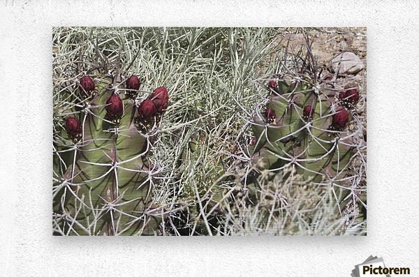 Cactus Flower VP2  Metal print