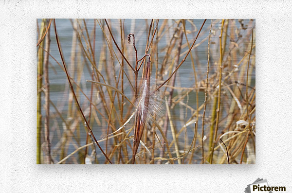 Feather in Reeds at the Glenn VP3  Metal print
