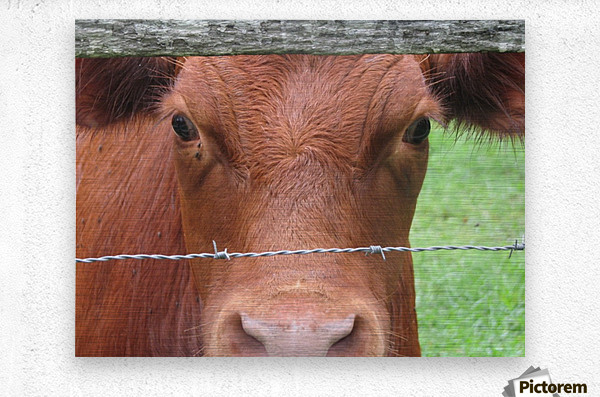 Cow in Stevenson, MD VP 2  Metal print