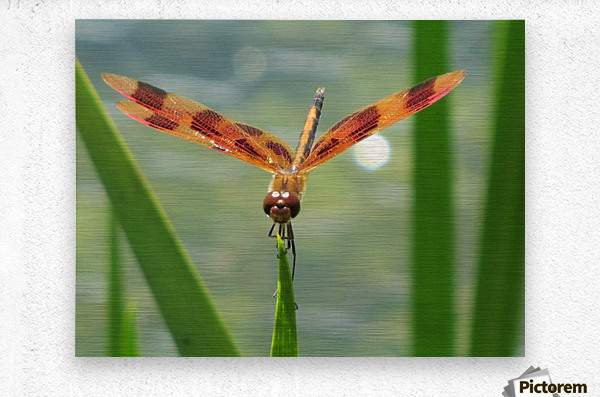 Dragonfly in Lincoln Park VP1  Metal print