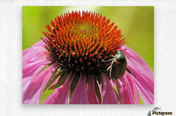 Echinacea and the Bee in Lincoln Park VP6  Metal print