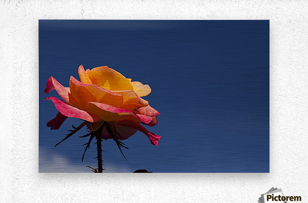 Pink and Orange Rose with Blue Sky  Metal print