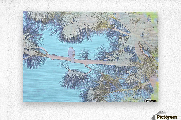Red Shouldered Hawk in Large Pine Abstract 3  Metal print