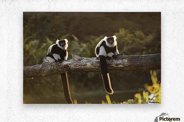 Lemur in his natural habitat, Madagascar  Metal print