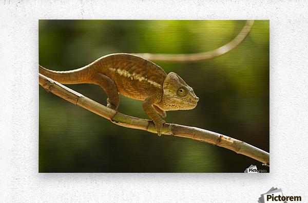 Chameleon in his natural habitat, Madagascar  Metal print