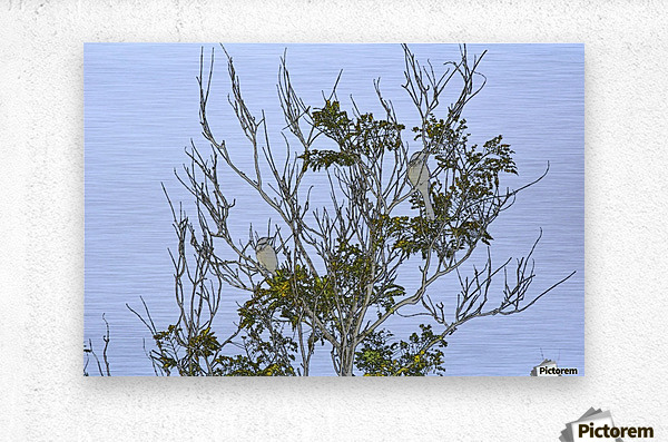 Two Blue Jays in Tree 1 abstract  Metal print