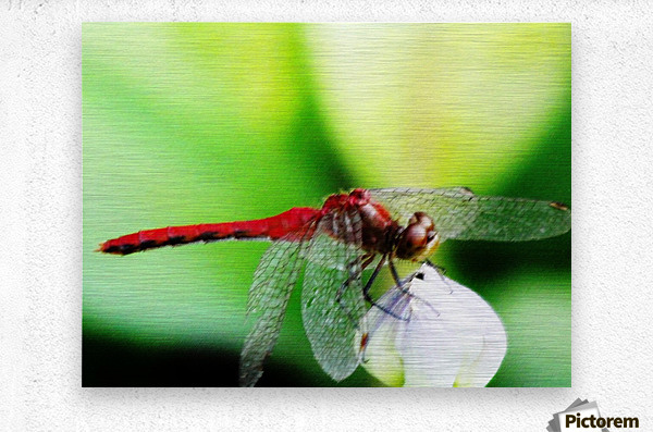 Red Dragonfly 3  Metal print