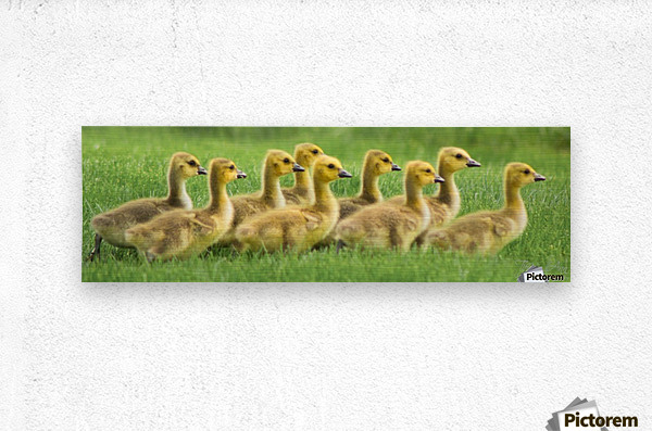Get Your Geese in a Row  Metal print