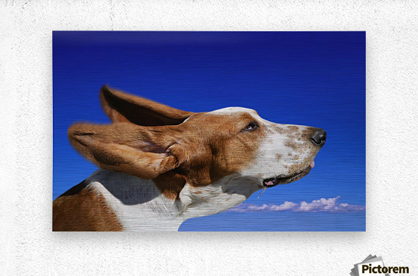 Dog With Ears In The Wind  Metal print