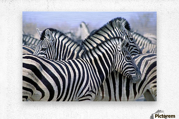 Burchell's Zebra (Equus Quagga Burchellii), Etosha National Park, Namibia, Africa  Metal print