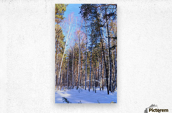 Winter. Forest. Shadow  Metal print