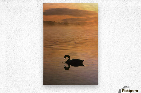 Lough Leane, Lakes Of Killarney, Co Kerry, Ireland; Silhouetted Swan  Metal print