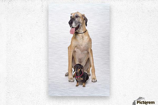 Great Dane And Dachshund Portrait  Metal print