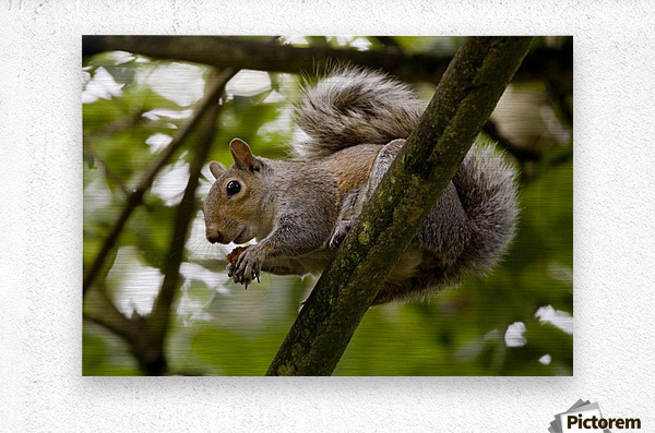 Gray Squirrel On A Tree Branch  Metal print