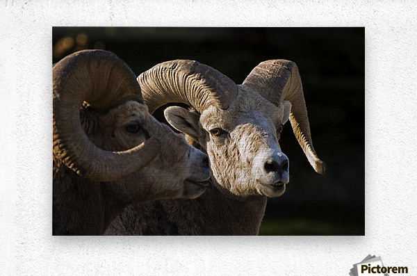 Bighorn Sheep, Waterton National Park, Alberta, Canada  Metal print