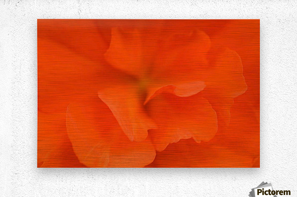 Waterloo, Quebec, Canada; Close-Up Of Red Begonia  Metal print