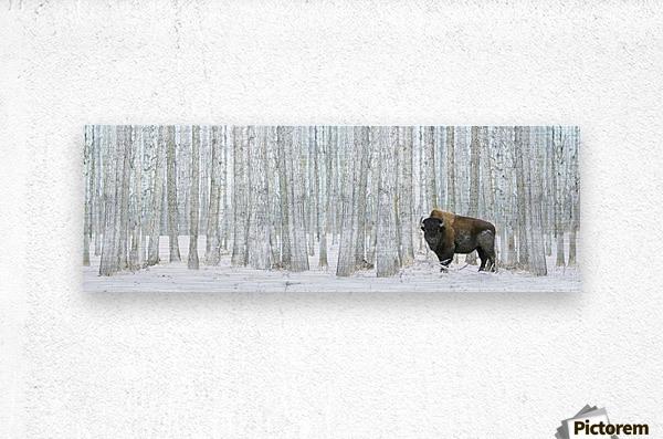 Buffalo Standing In Snow Among Poplar Trees In Elk Island National Park; Alberta, Canada  Metal print