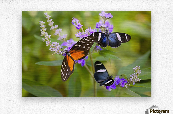 Three Colorful Butterflies On Blossoms In Spring; Oregon, Usa  Metal print