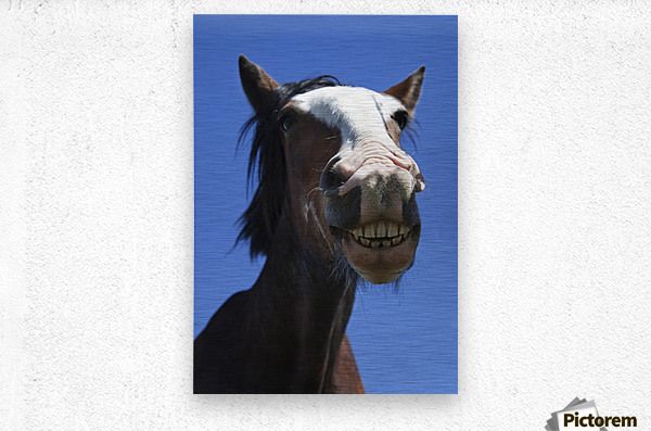 A Horse Smiling And Showing It's Teeth; Northumberland, England  Metal print