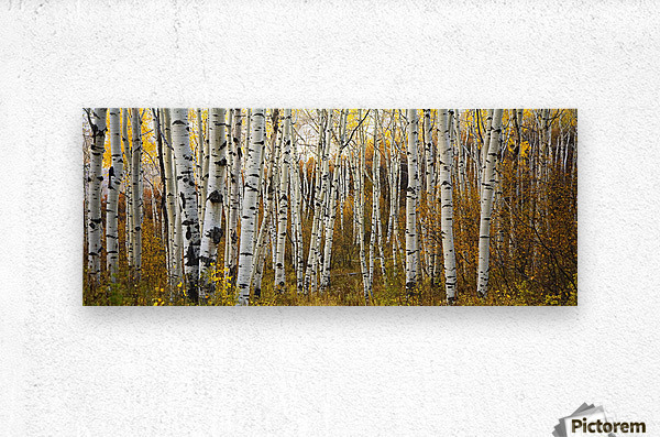 Colorado, Steamboat, Aspen Tree Trunks In Grove, Yellow Autumn Leaves.  Metal print