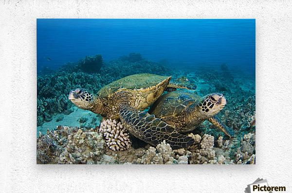 Hawaii, Green Sea Turtles (Chelonia Mydas) Over Coral Reef.  Metal print