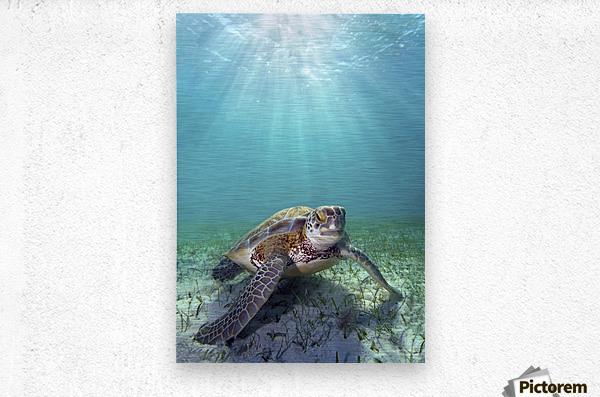 Hawaii, Green Sea Turtle (Chelonia Mydas) An Endangered Species.  Metal print