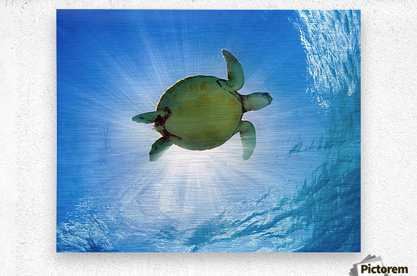 Hawaii, Green Sea Turtle (Chelonia Mydas) An Endangered Species.  Metal print