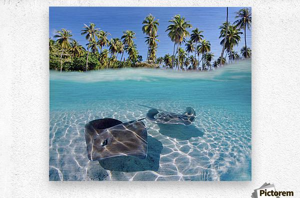 French Polynesia, Tahiti, Moorea, Two Stingray In Beautiful Turquoise Water.  Metal print