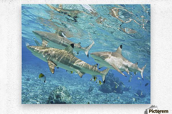 French Polynesia, Rangiroa, Blue Lagoon, Blacktip Reef Shark (Carcharhinus Melanopterus).  Metal print