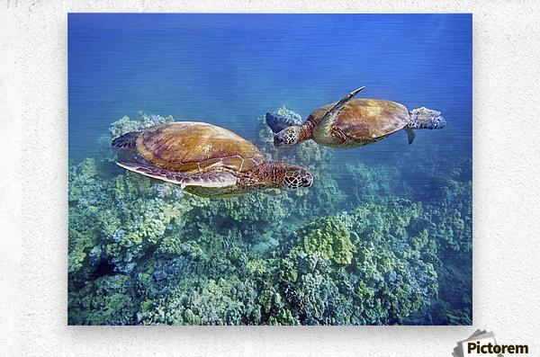 Hawaii, Two Green Sea Turtles, (Chelonia Mydas) An Endangered Species.  Metal print