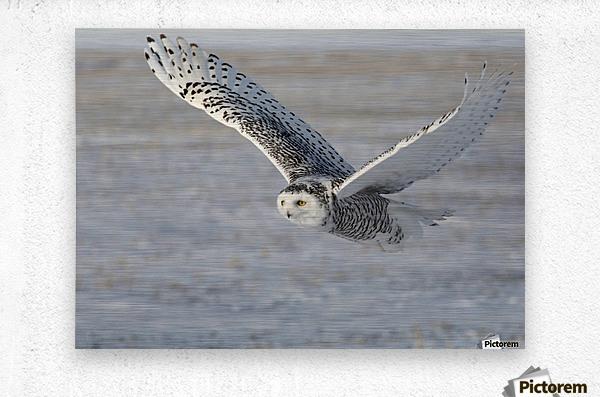 Snowy Owl in flight 6  Metal print