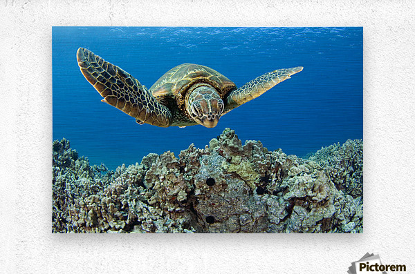 USA, Green Sea Turtle (Chelonia Mydas); Hawaii  Metal print