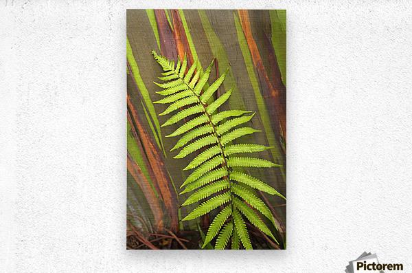 Hawaii, Maui, Hana, Fern And Rainbow Eucalyptus Tree.  Metal print