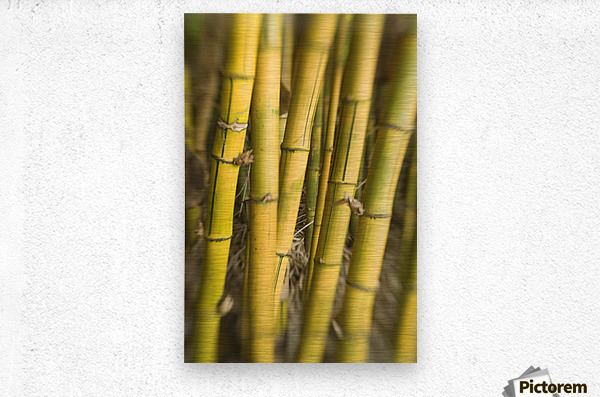 Close-Up Of Bamboo Stalks.  Metal print