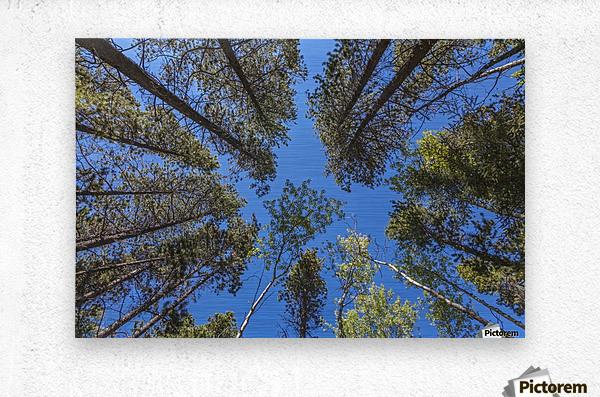 Tree Tops Near Grassi Lake Trail, Alberta  Metal print