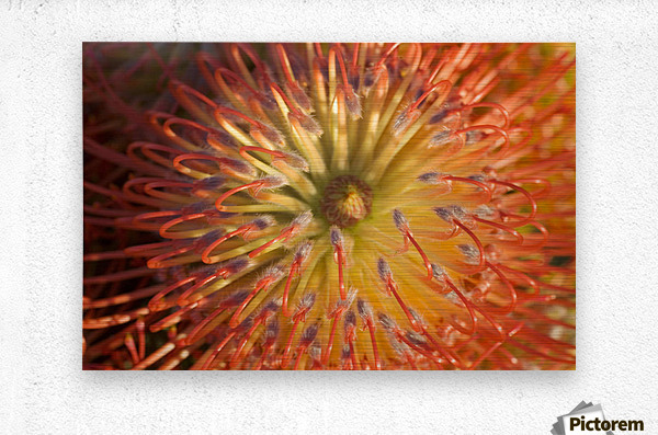 Close-Up Top View Red Pin Cushion Protea Blossom Or Leucospermum, Texture Detail  Metal print