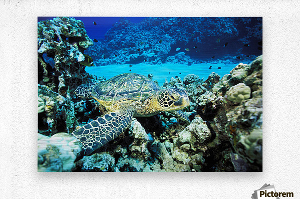 Hawaii, Green Sea Turtle (Chelonia Mydas) On Reef With Tropical Fish  Metal print