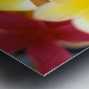 Studio Shot Of Yellow And Two Pink Plumeria Flowers, Water Drops On Petals Metal print