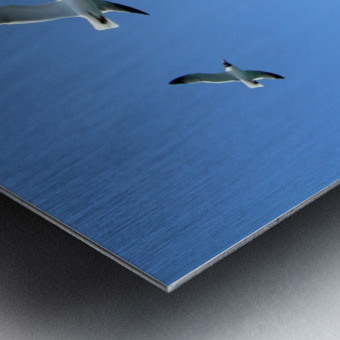 Seagulls against a clear blue sky Metal print