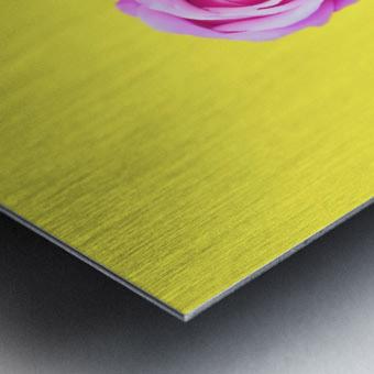 closeup pink rose with yellow background Metal print